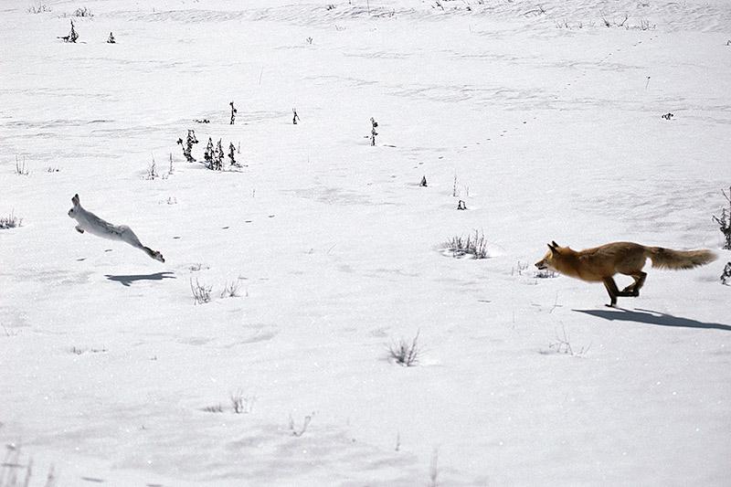Wildlife in British Columbia, Canada: Red Fox