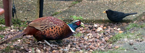Pheasant and Blackbird IMG_0509