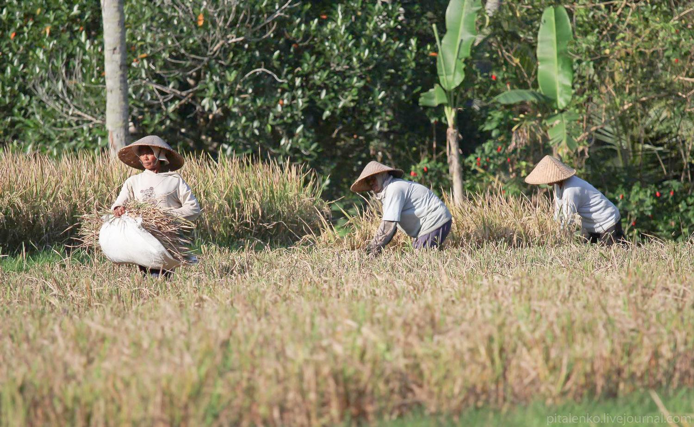 Поля осушают, стебли с рисом срезают