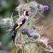European Goldfinch by Greg Miles