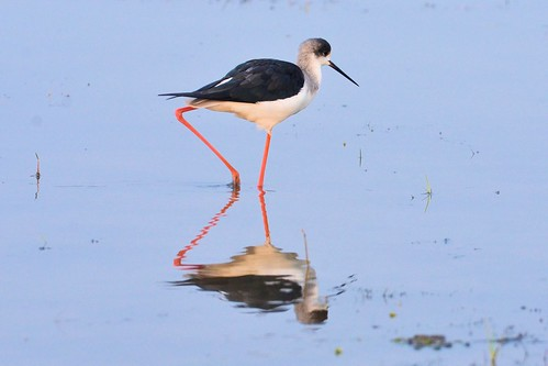 Black-winged Stilt........ Marvels of Mangalajodi Marshland