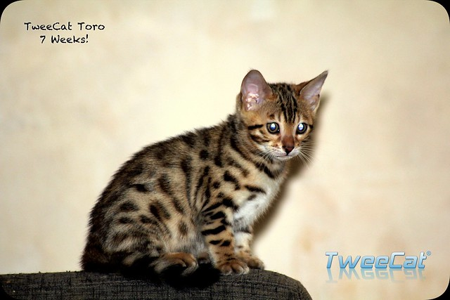 TweeCat Toro, un m�le disponible!