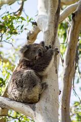 Koala @ Phillip Island