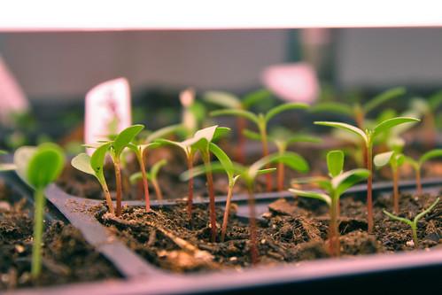 seedlings 7023