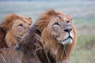 Lake Nakuru - Male Lions