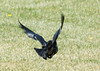 grackle_in_flight-20140413-1