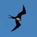 fregatebird on Galapagos - Ecuador by Ferdi's - World