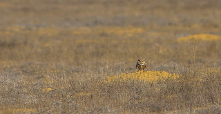 Burrowing Owl of Carrizo Plains
