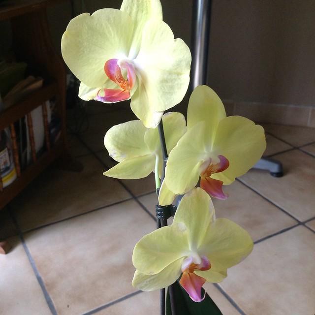 Floraison des orchidées de juin à........... 19612523678_a513dc198e_z