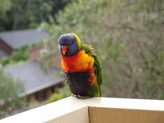 wildlife(0.0), animal(1.0), lovebird(1.0), macaw(1.0), parrot(1.0), wing(1.0), pet(1.0), fauna(1.0), parakeet(1.0), lorikeet(1.0), common pet parakeet(1.0), beak(1.0), bird(1.0),