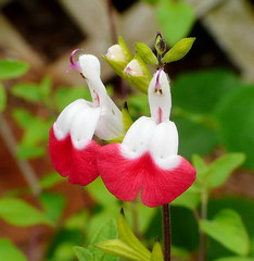 Salvia \'Hot Lips\'