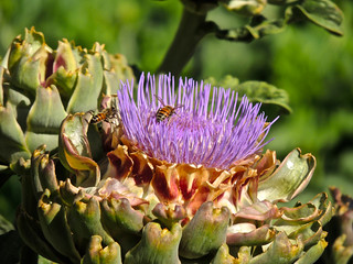 Artichoke blooming with a couple of interested bees