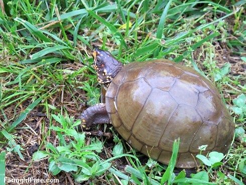 (28-6) First turtle of the season in the kitchen garden, no doubt looking for strawberries - FarmgirlFare.com