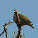 Small photo of African Green Pigeon (Treron calvus)