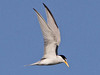 Least Tern, Fort Myers Beach (Florida), 17-Apr-13 by Dave Appleton