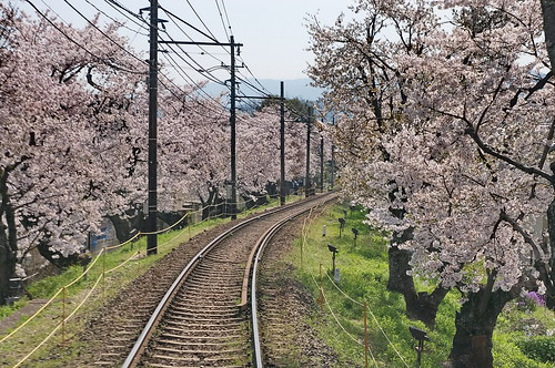 【写真】桜 : 宇多野-鳴滝間(2)
