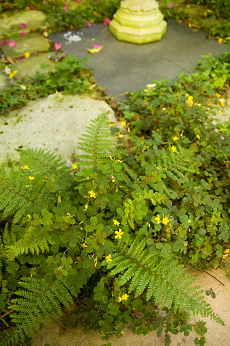 Organic Mechanic fern and oxalis