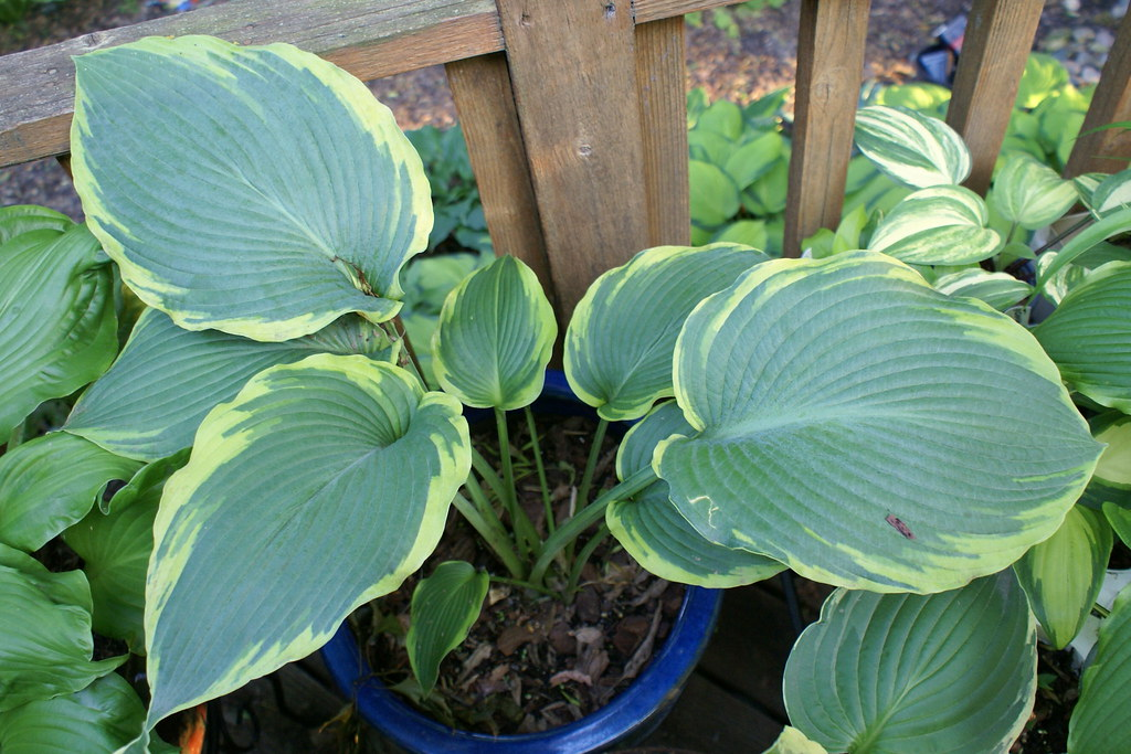 Hosta 'Eclipse' (11)-001