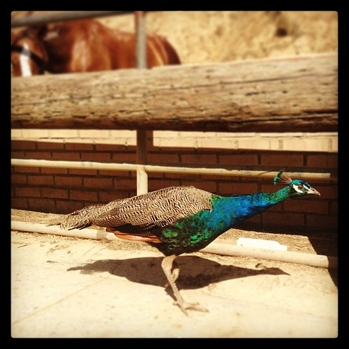 #peacock #sunsetranchstables