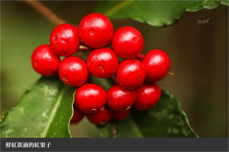 鮮紅欲滴的紅果子
