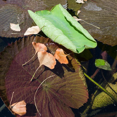 Lotus leaves with ginkgos in sewer water