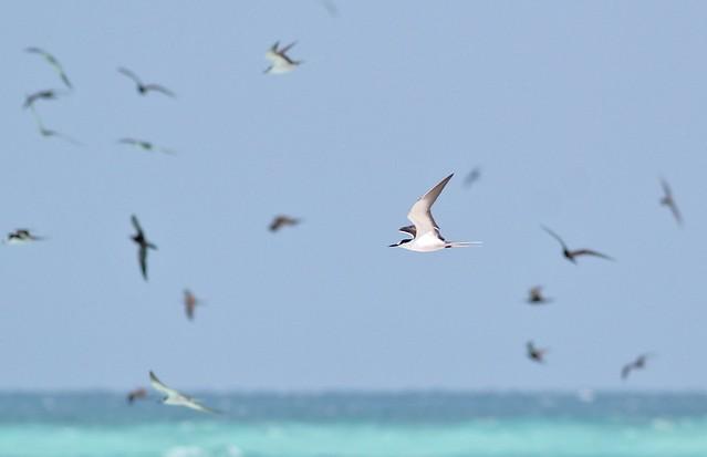 Sooty Tern and Brown Noddy, etc