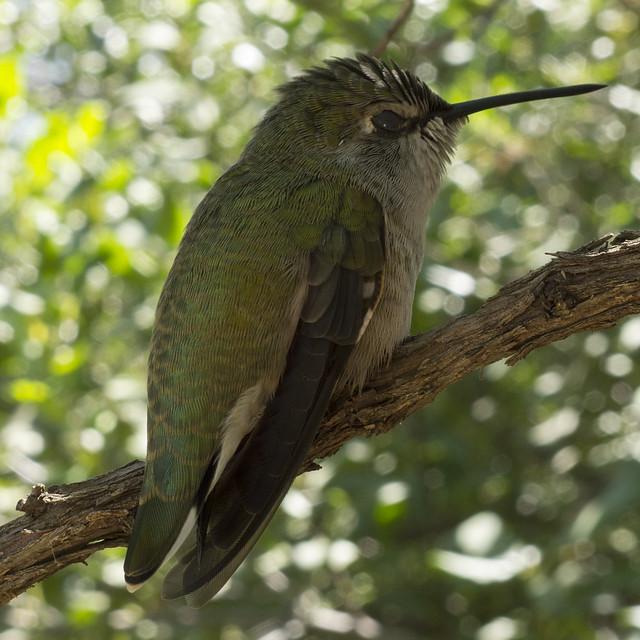 Hummingbird, Arizona-Sonora Desert Museum