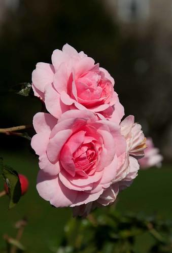 Rosa 'Bonica' Sw 10-18-13 0865 lo-res