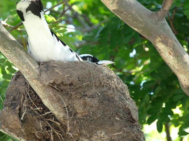 Pewie Nest