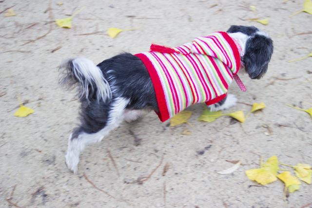 dog with a knitted jacket