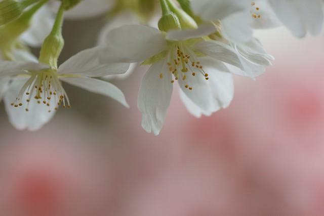 写真_「祝い桜」