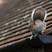 Grey squirrel on the garage roof by Lord V