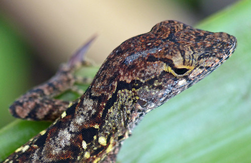 Cuban Brown Anole (anolis sagrei)