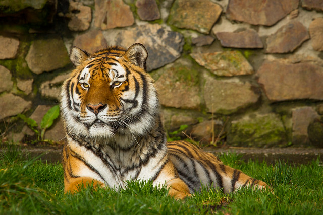 Amur Tiger at Dartmoor Zoo