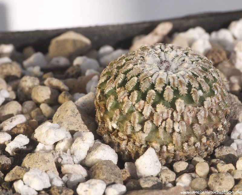 Turbinicarpus pseudopectinatus, La Escondida, N.L.