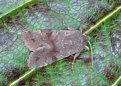 2188 Clouded Drab - Orthosia incerta
