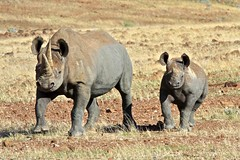 animal, plain, rhinoceros, fauna, savanna, safari, wildlife,