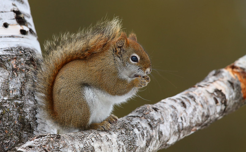 "American ""Red"" Squirrel"