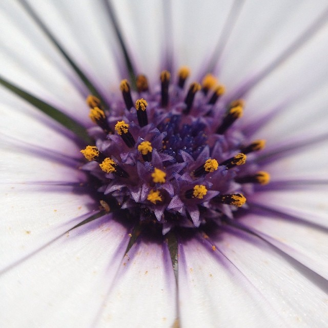 African Daisy @olloclip #macro #happiness #grateful365