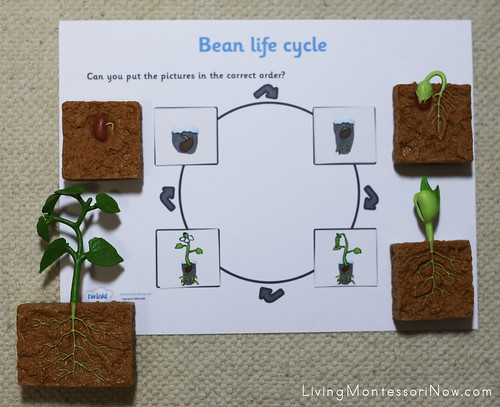 Life Cycle of a Bean Plant Layout