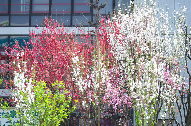 東京路地裏散歩 中野の桃 2014年4月5日