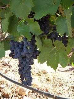 Uvas de Río Negro.