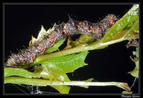 Chenille de la Phalène velue (Phigalia pilosaria)