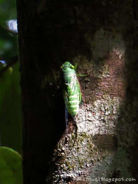 Santubong 25 Jade-Green Cicada (Dundubia vaginata)