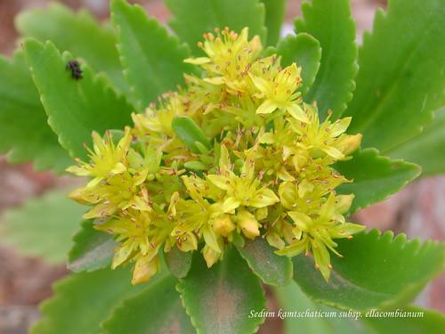 Sedum kamtschaticum subsp. ellacombianum