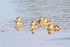 Mallard Ducklings 15-0625-6137 by digitalmarbles