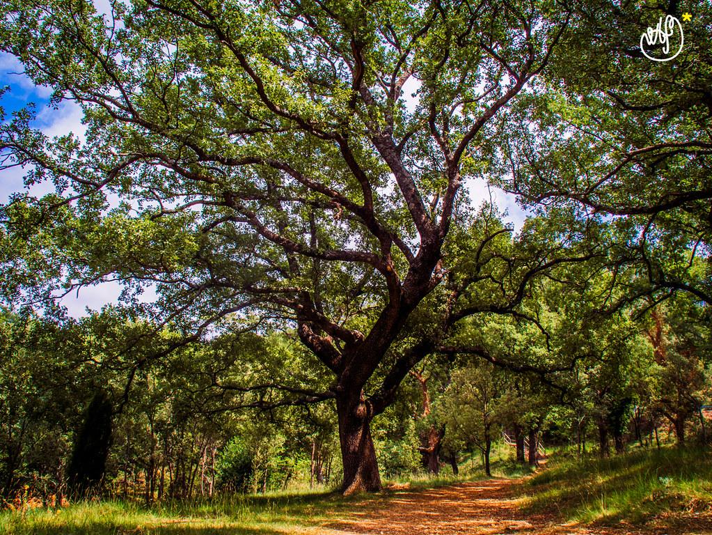 Carrasca centenaria del Parc Natural del Rivet en #Benassal, Castelló