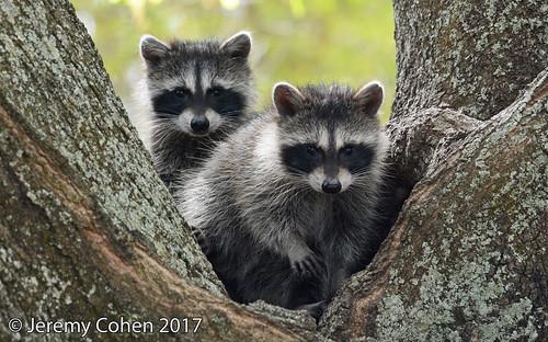 Raccoon cubs (Procyon lotor)