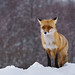 foxy by pucek