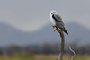 Black-shouldered Kite 2013-05-18 (_MG_0945)
